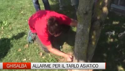 Allarme a Ghisalba: è arrivato il tarlo asiatico che uccide gli alberi