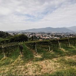 Ladri in vigna: rubati 450 kg di uva a Villa di Serio, una perdita da 200 litri di vino