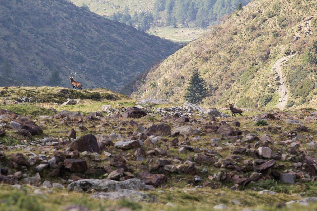 In Vallecamonica tra i bramiti dei cervi