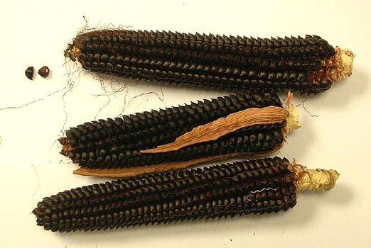 Mais nero spinoso, incontro e distribuzione semi