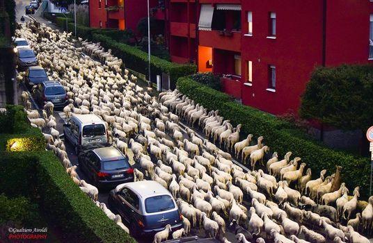 Il pasto drive thru delle pecore a Lecco diventa virale