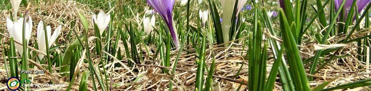 32785_61-crocus-vernus-bianchi-e-violetti-alla-cappella-delle-baite-della-pigolottajpg.jpg