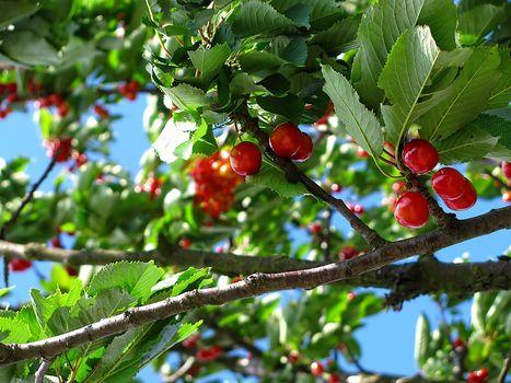 Alberi da frutta, un corso in val Chiavenna
