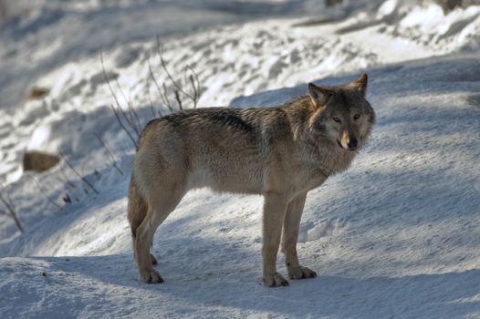 Il ritorno del lupo in Val Camonica e alto Garda