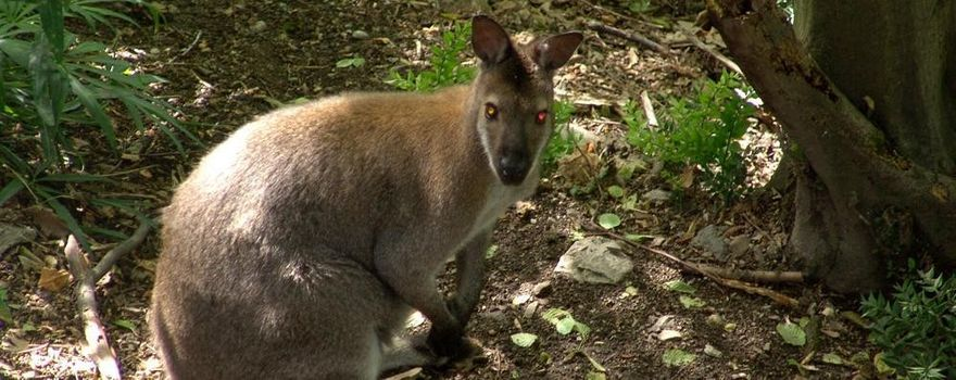 Sentenza definitiva: via i canguri dall'isola di Pusiano