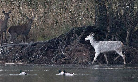Riecco Biancaneve, la cerva bianca del Pian di Spagna