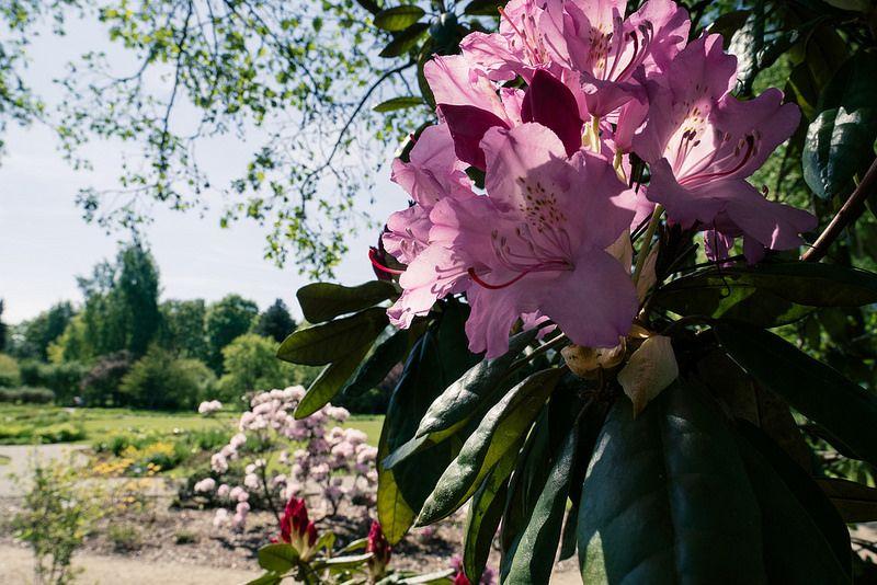 Rododendri per villa Erba