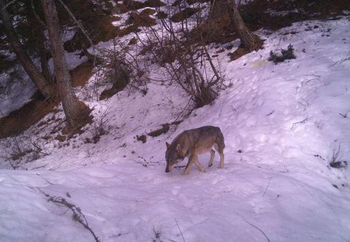 Mortirolo, fotografato il lupo delle Orobie
