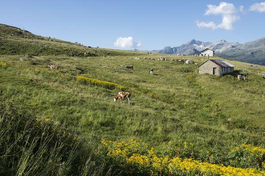 Valle Spluga, quando l'apeggiatore chiama (video)
