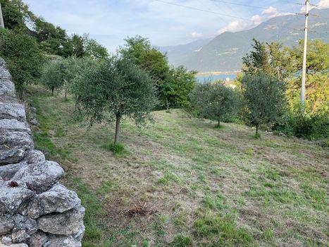 Grazie agli ulivi rinascono i terrazzamenti dell'alto Sebino